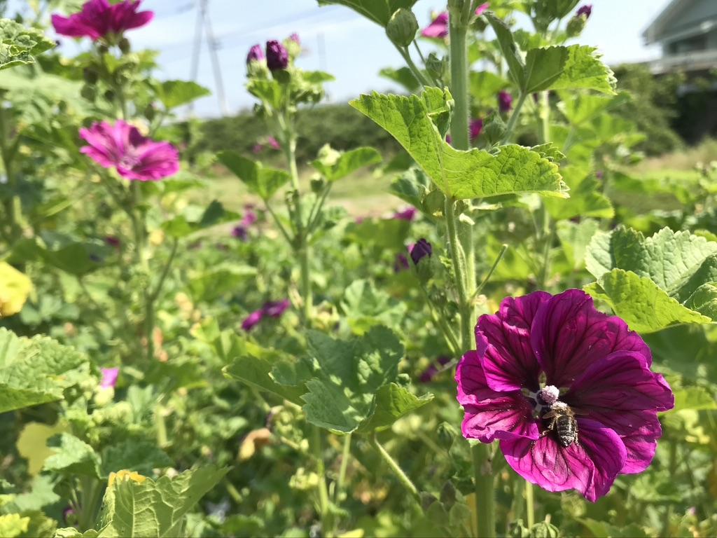 マロウブルー(ウスベニアオイ)[Mallow flowers]